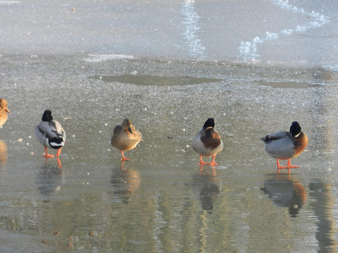 Canards sur le petit Loir (anas platyrhynchos)
