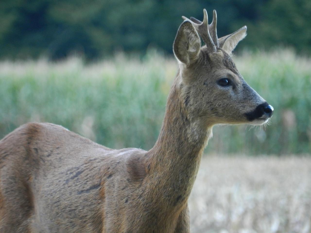 Chevreuils, sangliers, daims, lièvres, renards