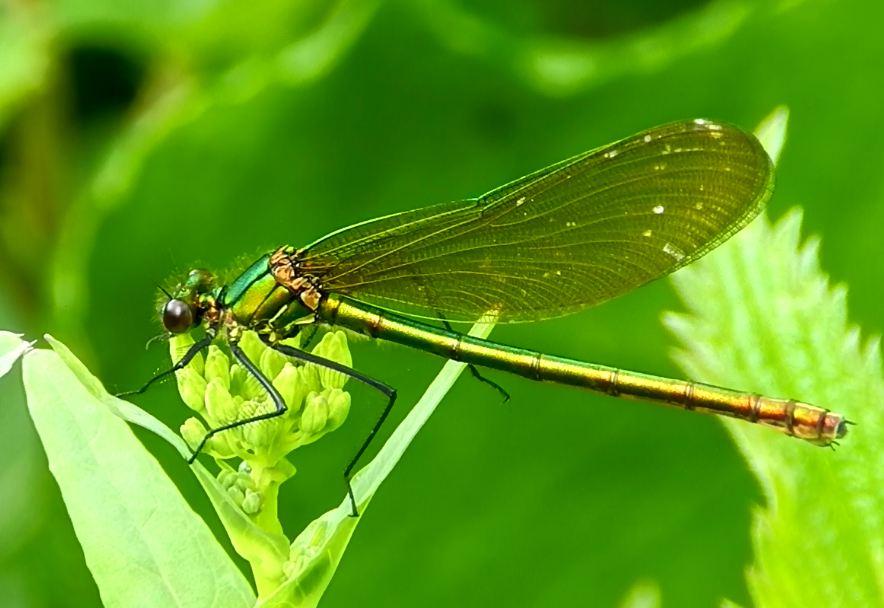 Caloptéryx éclatants (Calopteryx splendens)