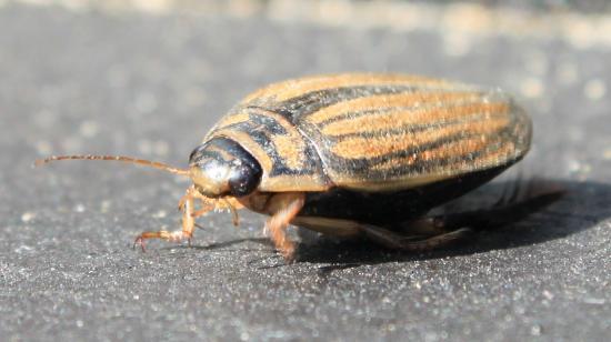 Dytique (Acilius-Sulcatus) insecte aquatique