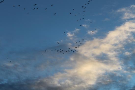 Vol de cormorans (Phalacrocorax carbo)