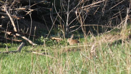 Lapin de garenne (Oryctolagus cuniculus)