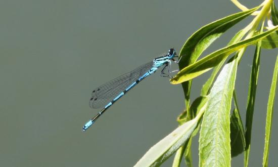 Agrion porte-coupe (Enallagma cyathigerum)