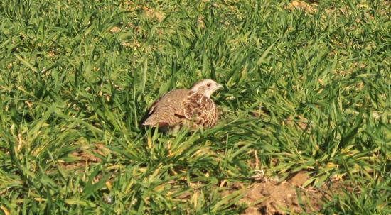 Perdrix grise femelle (perdix perdix)