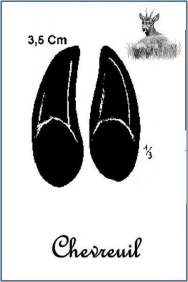 Chevreuil (Capreolus capreolus)
