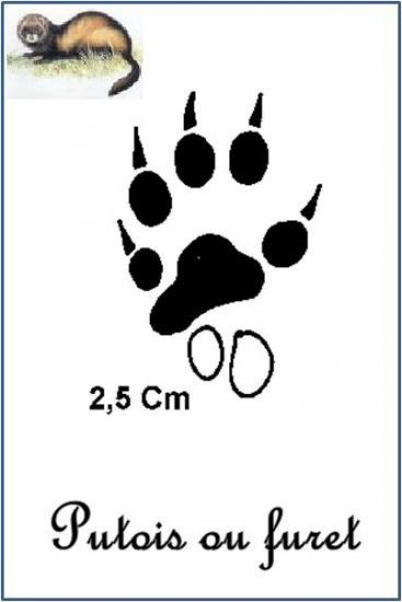Furet (Mustela putorius furo)