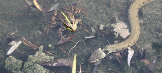 Couleuvre vipérine (Natrix maura) et Grenouille de Pérez (Pelophylax perezi)