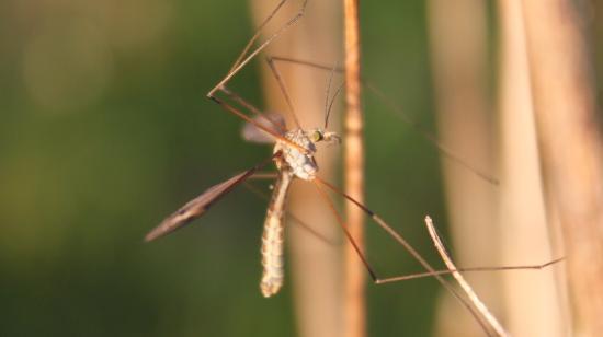 Tipule ou cousin (Tipula oleracea)