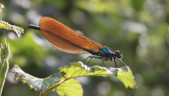 Calopteryx vierge femelle (Calopteryx virgo)