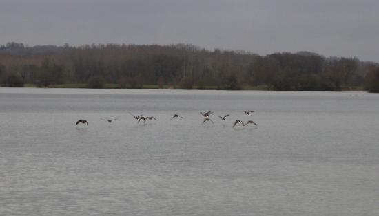 Envol de canards colverts (Anas platyrhynchos)
