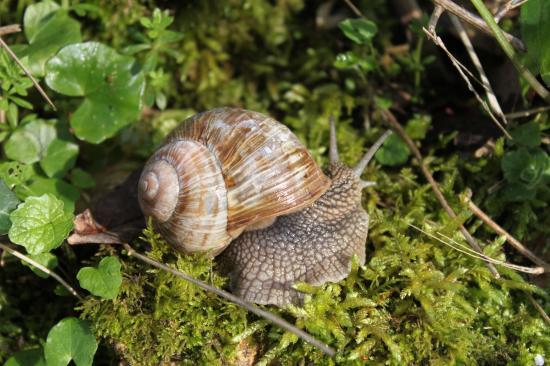 Escargot de bourgogne (Helix-pomotia)