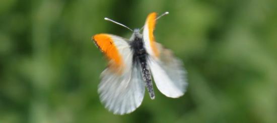 Aurore ou Piéride du cresson mâle (Anthocharis-Cordamines)