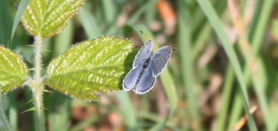 Argus bleu ou Azuré commun ou Azuré de la Bugrane (Polyommatus icarus)