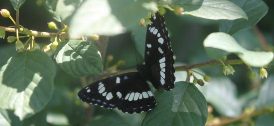 Amiral (Limenitis (Basilarchia) arthemis)