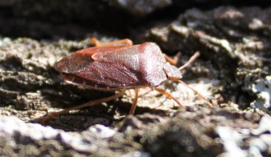 Punaise Acanthosomatidae (Acanthosoma haemorrhoidale)