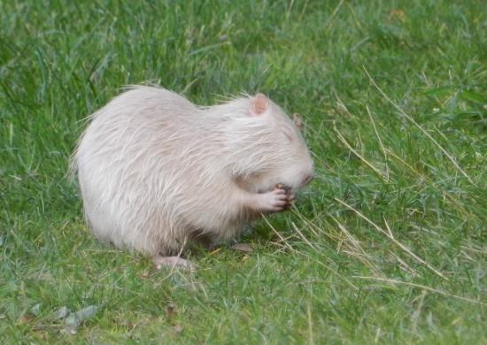 Ragondin albinos