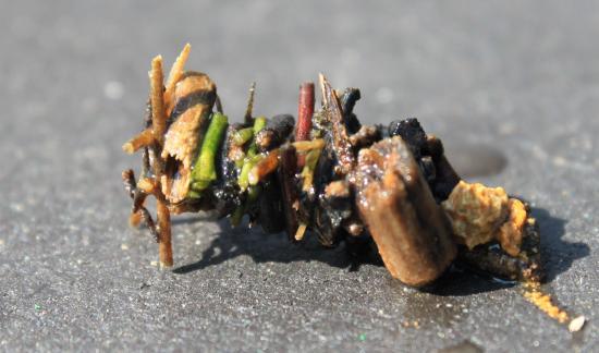 Larve de trichoptère (Agrypnetes-Crassicornis) dans son fourreau
