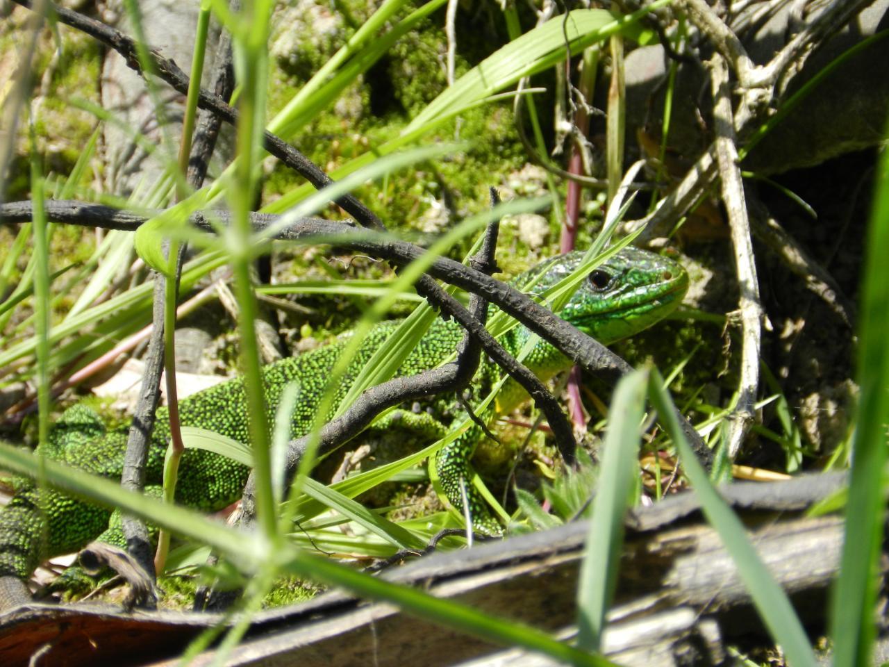 Lezard vert occidental (lacerta-viridis)