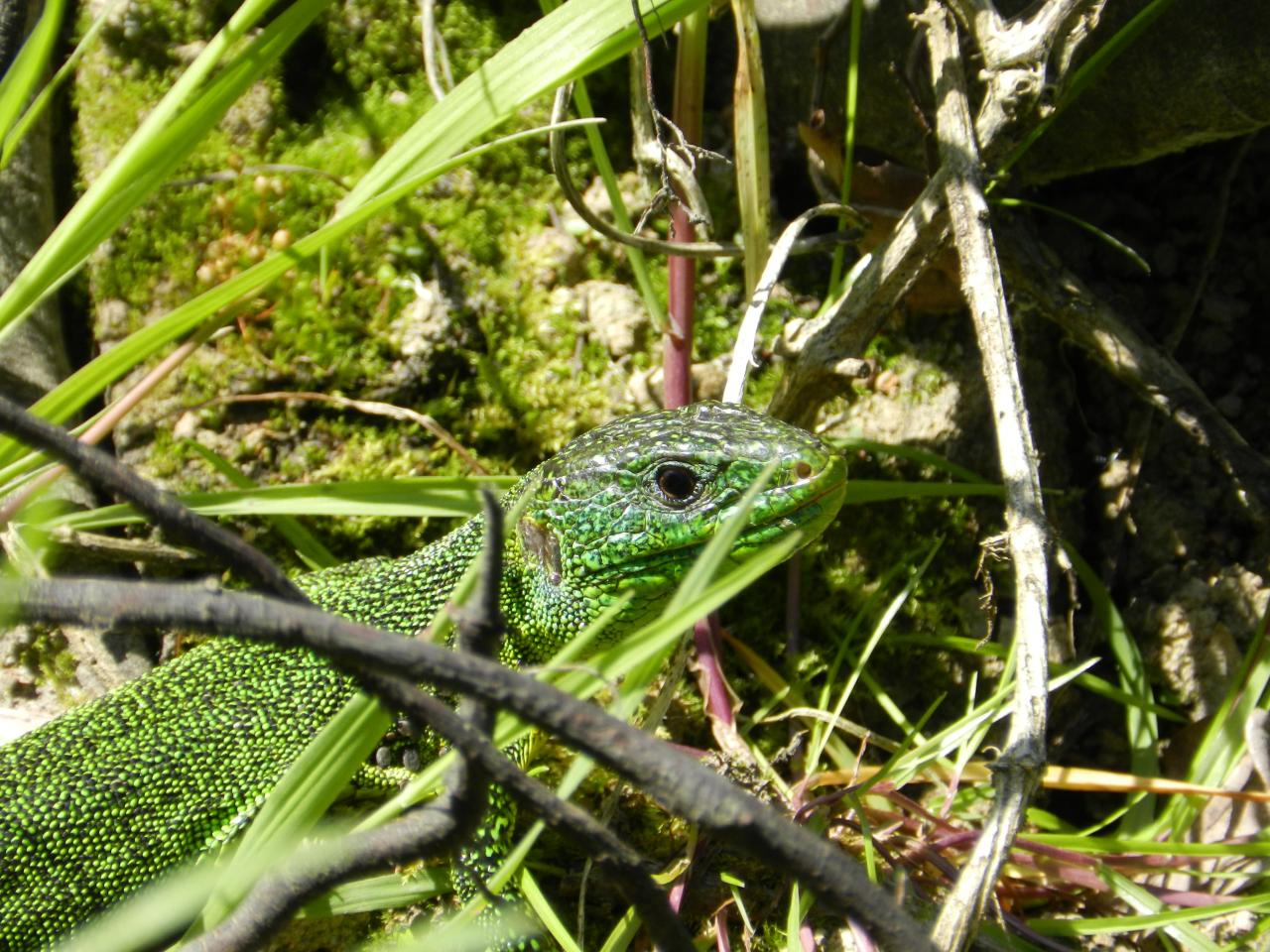 Lezard vert occidental (lacerta-viridis)