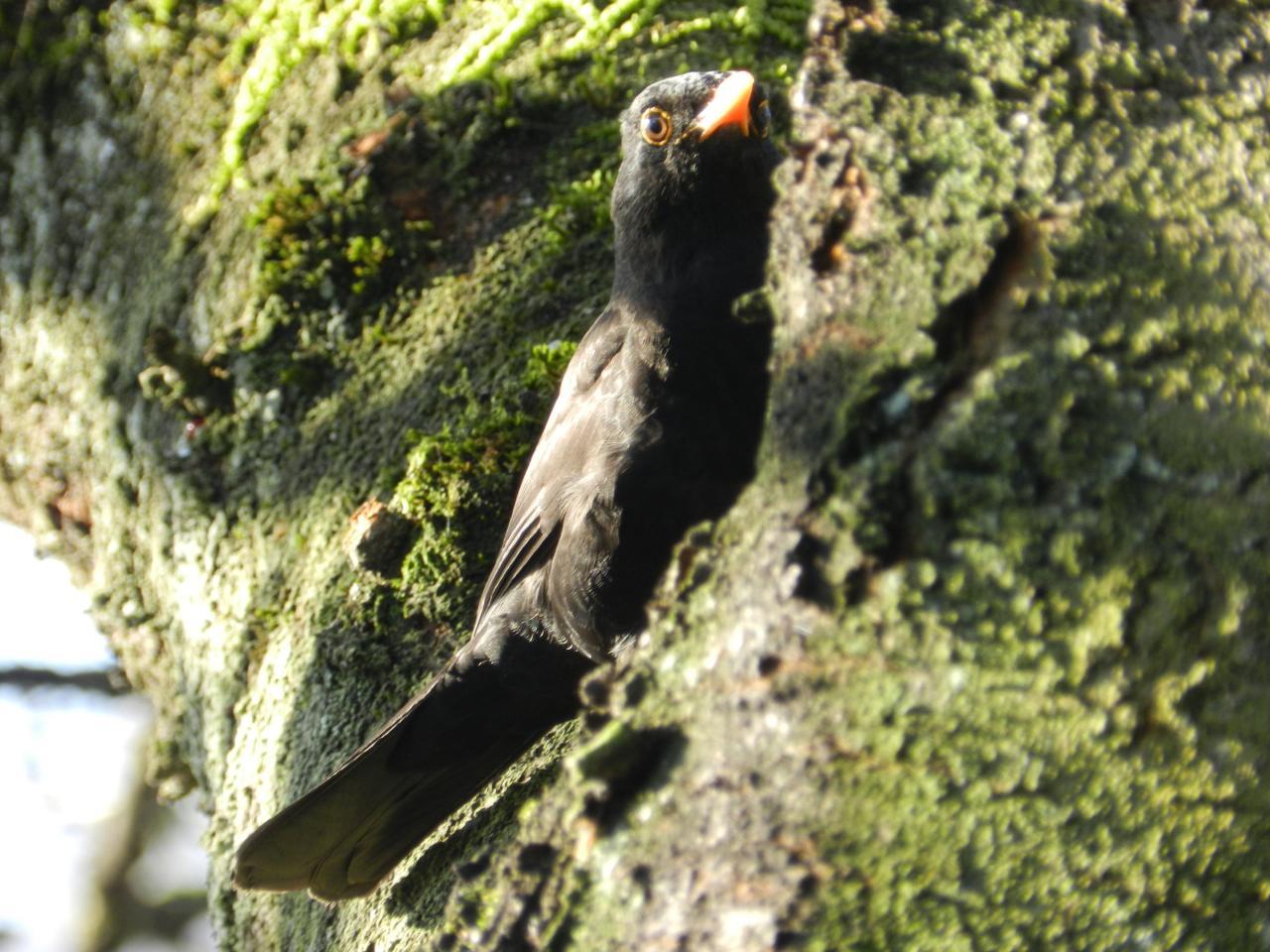 Merle noir (Turdus merula)