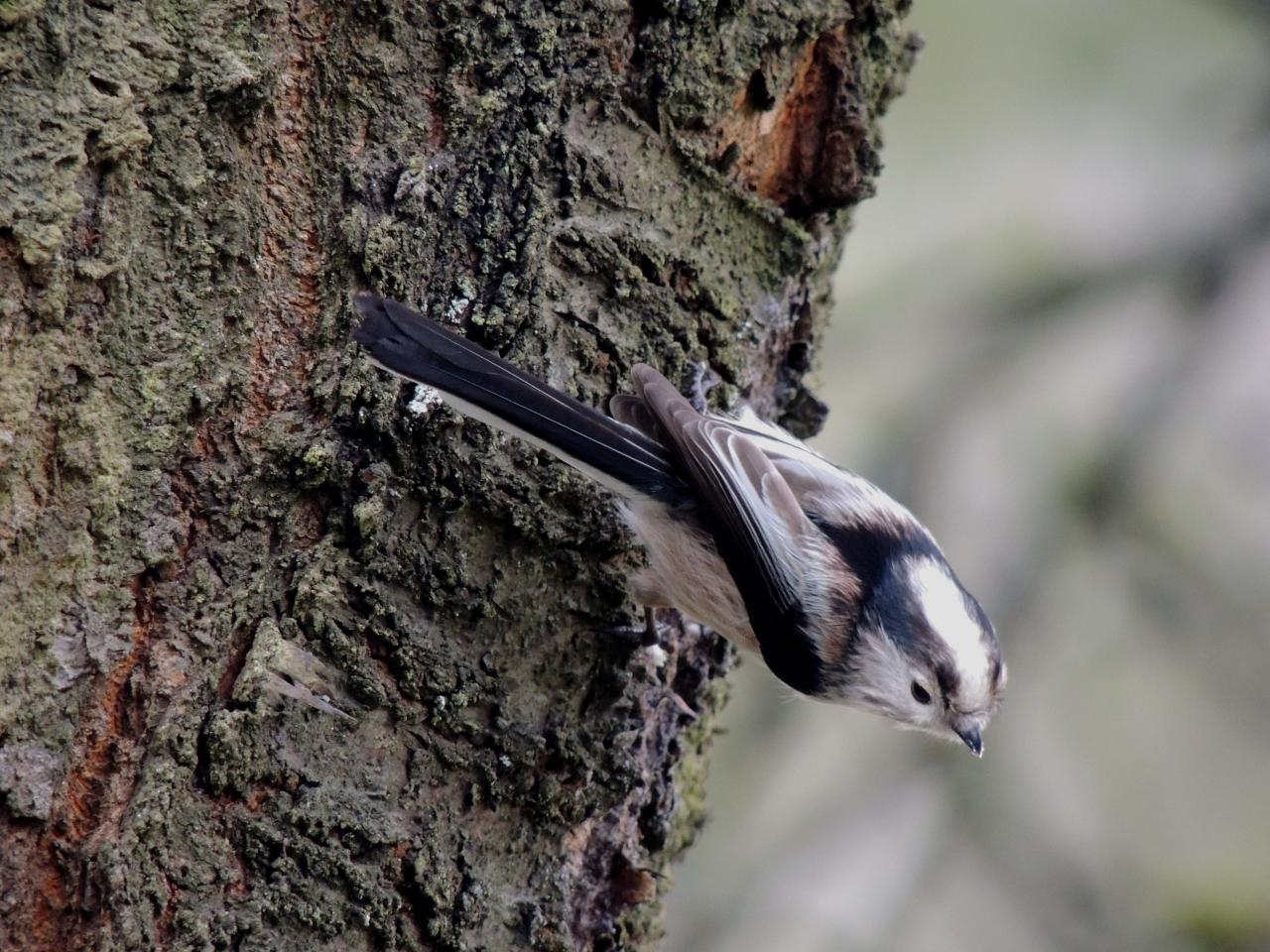 Mésange à longue queue (Aegithalos caudatus)