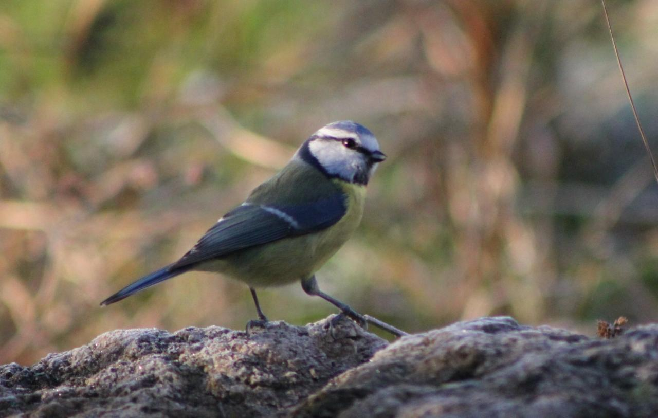 Mésange bleue (cyaniste caeruleus)