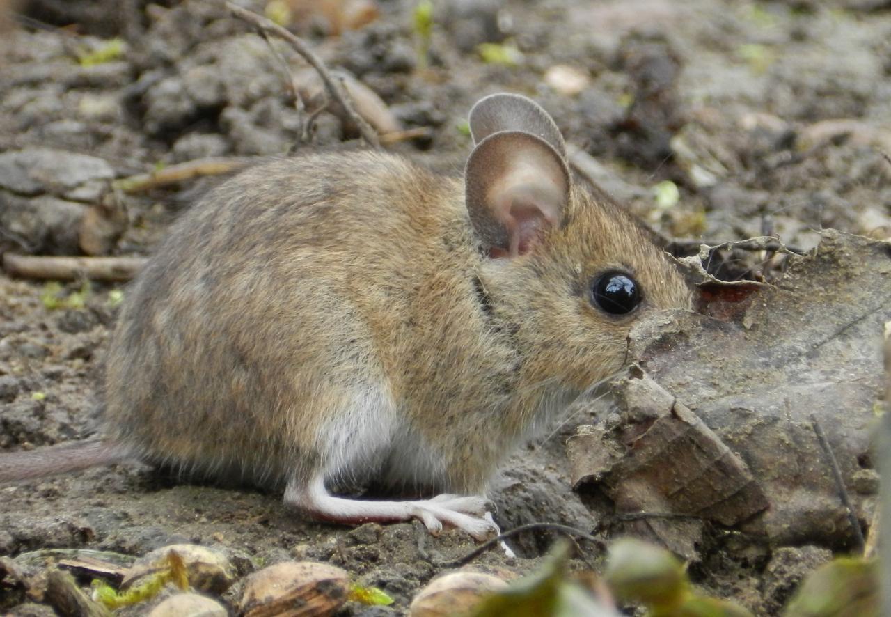 Mulot sylvestre, Souris de terre, Rat sauteur (Apodemus sylvaticus)
