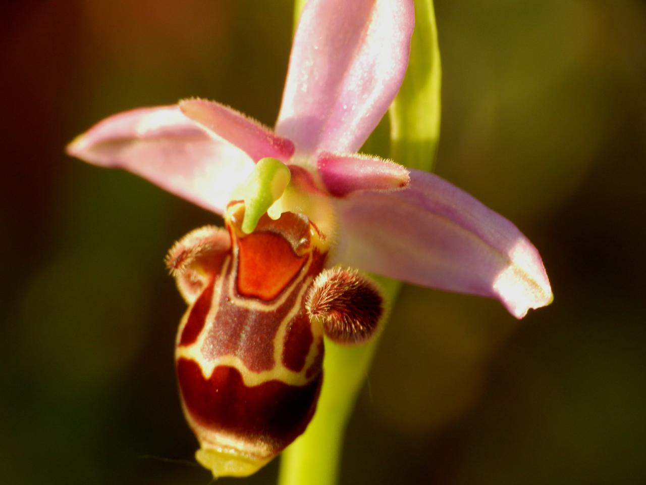 Ophrys scolopax, ophrys bécasse à Malras 11 (le 16 mai 2014)