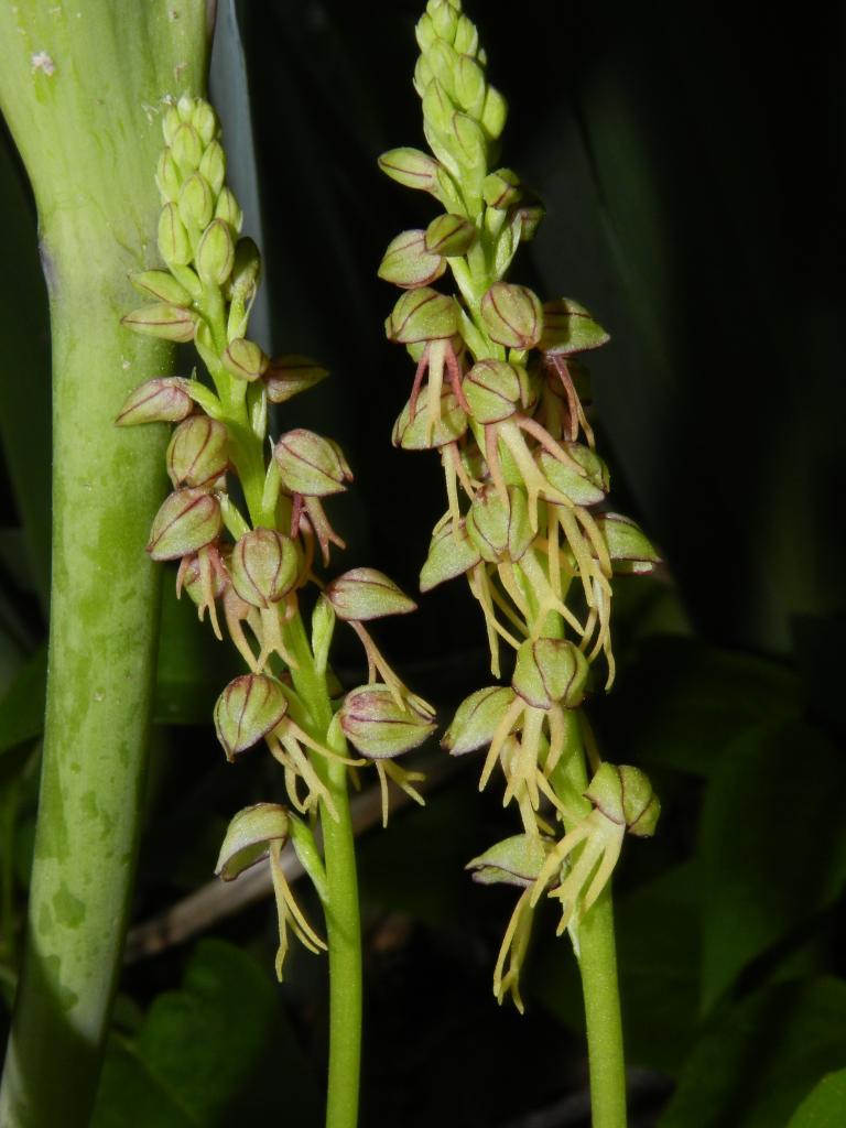 Orchis anthropophora, orchis de l'homme pendu (Malras 11)