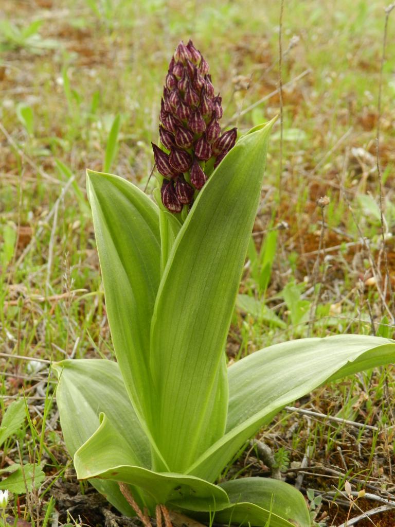 Orchis purpurea, Orchis pourpre (Malras 11)