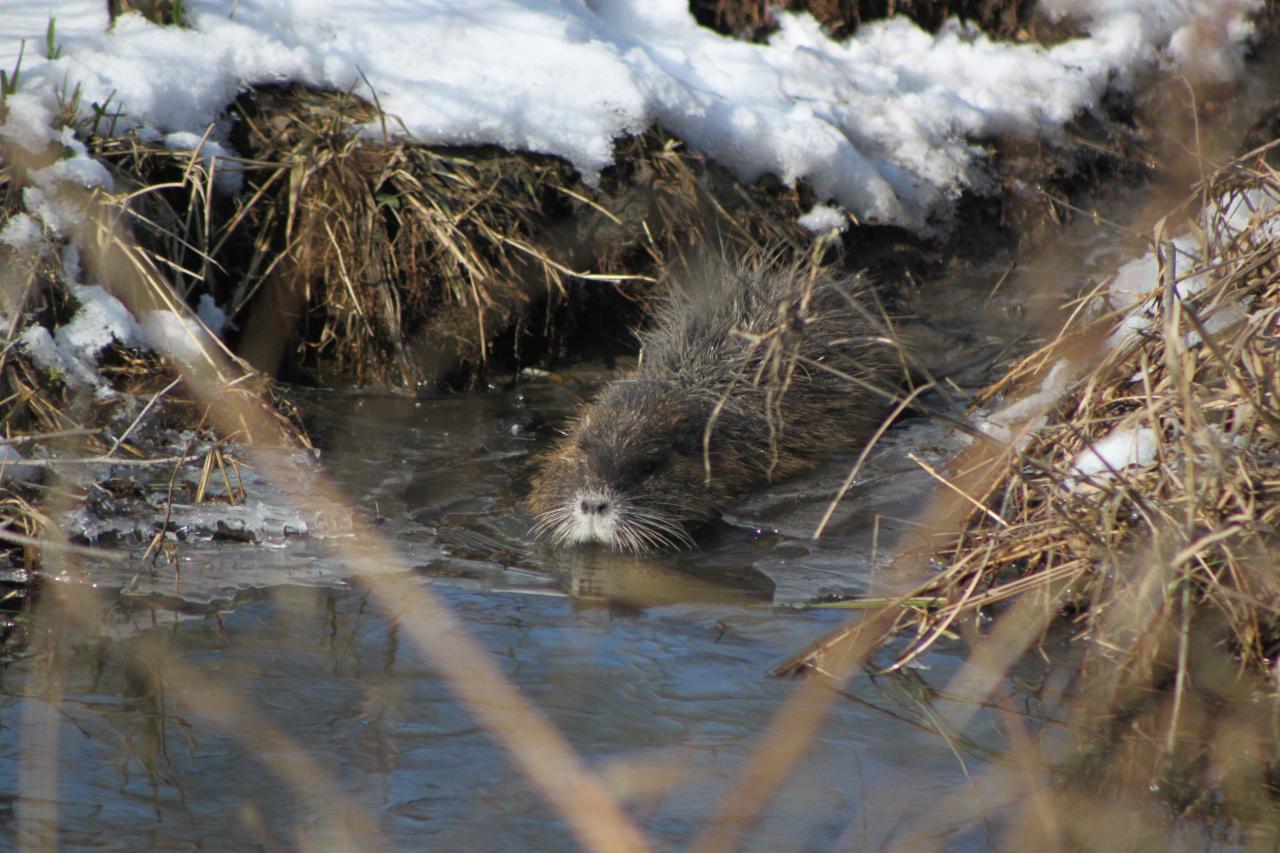 Ragondin dans le froid hivernale (myocastor coypus)