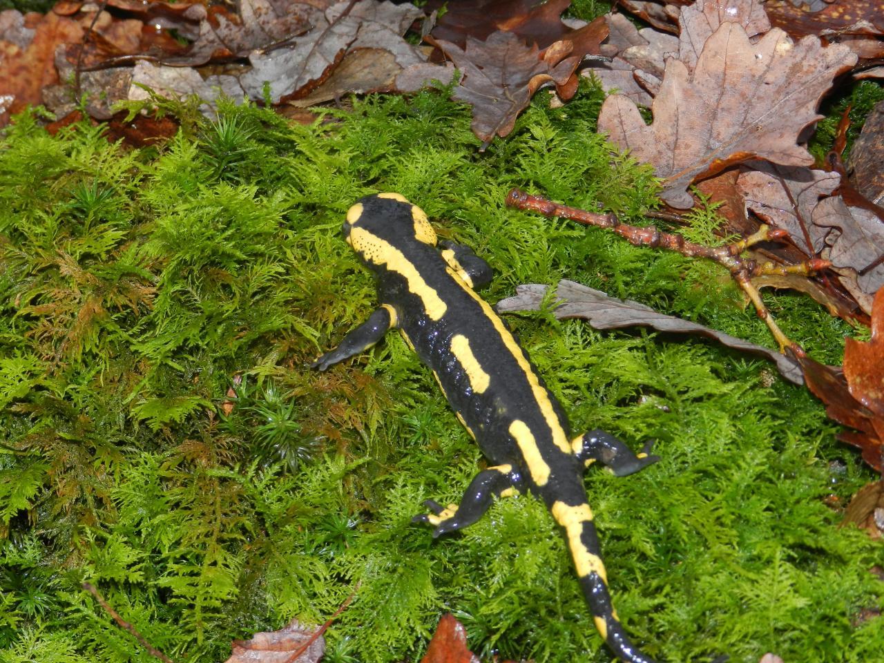 Salamandre tachetée (salamandra-salamandra)
