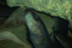 anguilles1.jpg