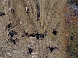 cormoran19.jpg