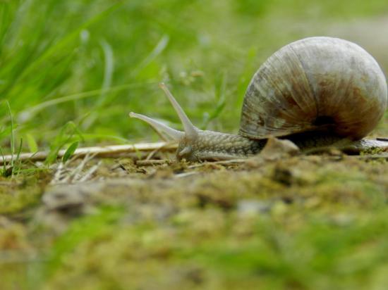 escargot-de-bourgogne13.jpg