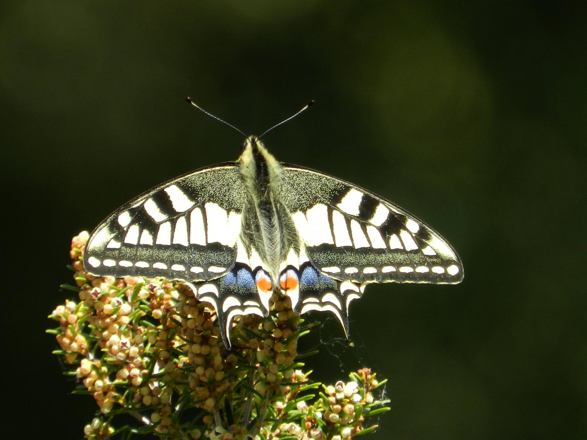 Machaon138