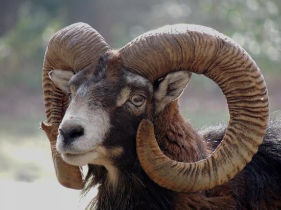 mouflon-corse1.jpg