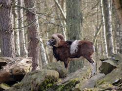mouflon-corse11.jpg