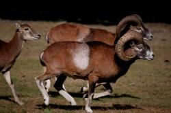 mouflon-corse30.jpg