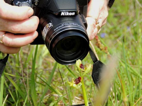 ophrys-araneola7.jpg