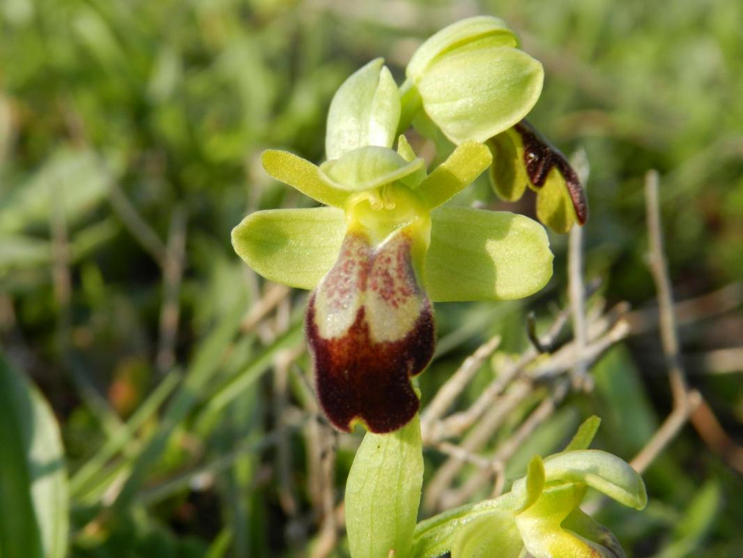 Ophrys lupercalis9