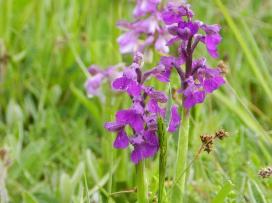 orchis-bouffon5.jpg