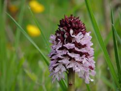 orchis-purpurea13.jpg