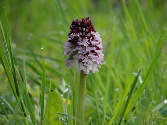 orchis-purpurea20.jpg