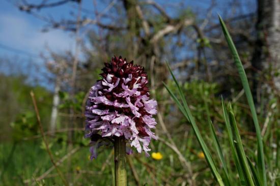 orchis-purpurea39.jpg