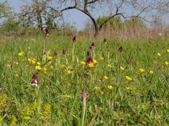 orchis-purpurea52.jpg