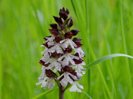 orchis-purpurea74.jpg