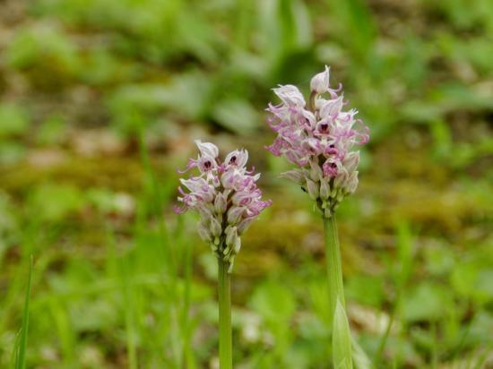 orchis-simia3.jpg