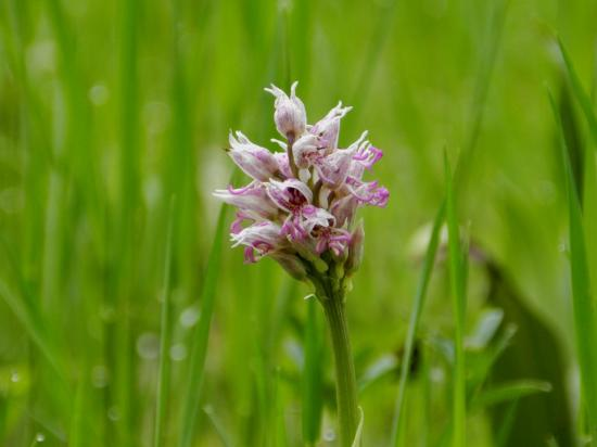 orchis-simia6.jpg