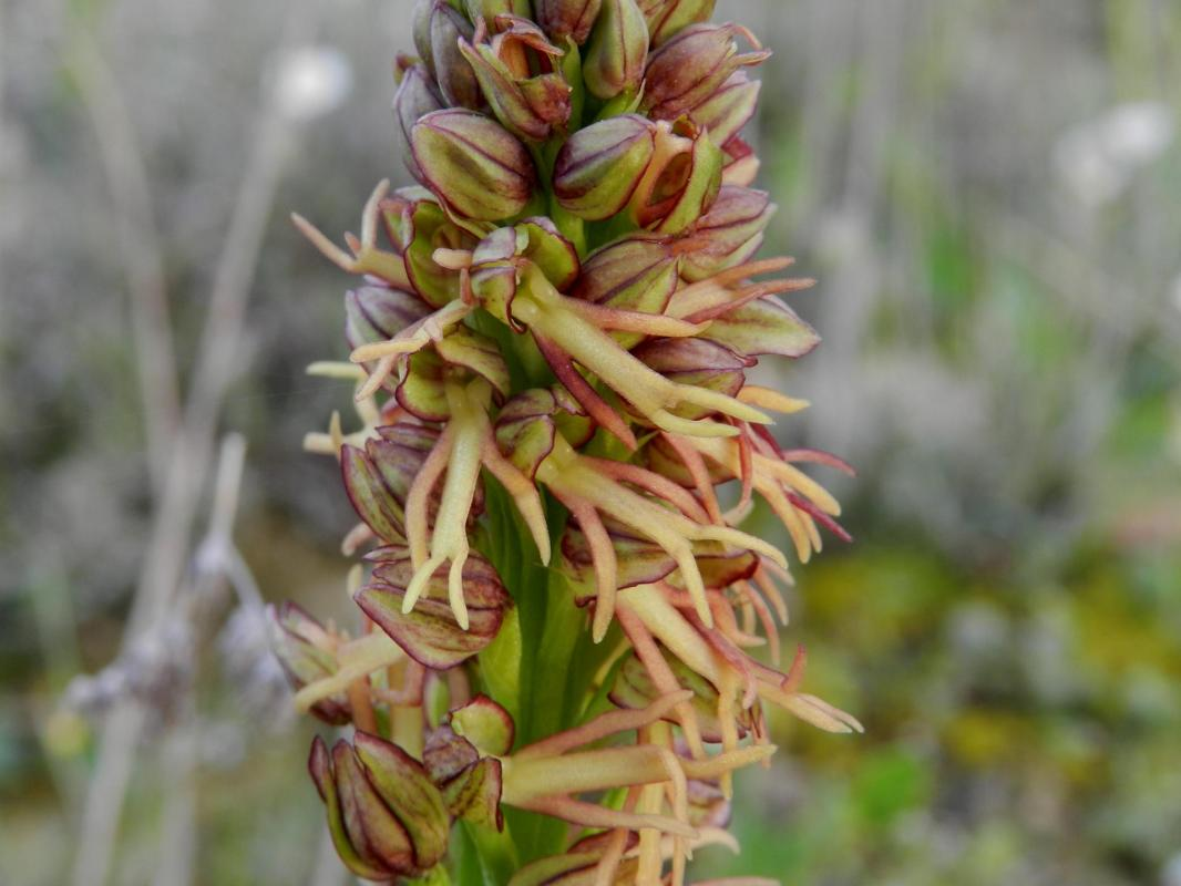 Orchis anthropophora22